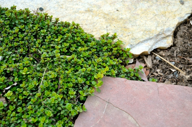 perennial thyme emerging between the flagstones.