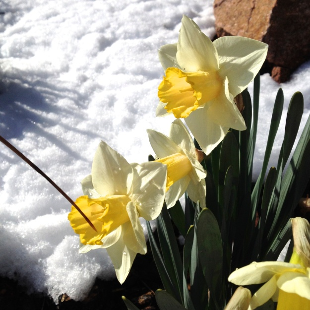 Part of the deal with living in Colorado: dealing with the snows one day and 70-degree, sunny weather the next. I salvaged these daffodils by covering them with a bucket. What we do for our treasured flowers! ;-)