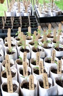 Our tomato and pepper seedlings. Kind of a pain in the @$$ to start from seed, but we had to try it.