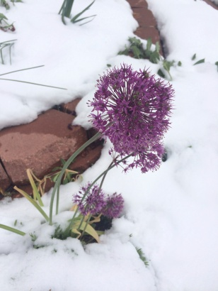 Aliums and snow.