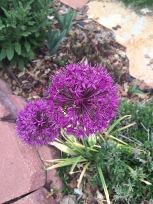 Purple aliums in the garden.