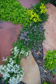 Thyme and succulents popping up through the flagstone path in the backyard.