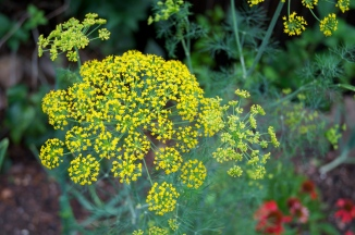 Flowering dill awaiting a pickle jar within the next two weeks!