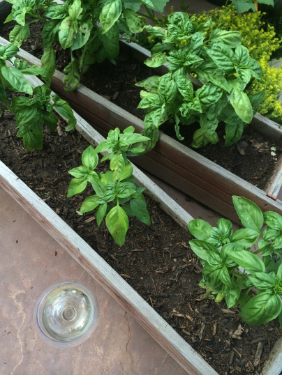 Sipping in the garden with the basil.