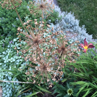 Dead alium in the garden adding depth and dimension to the gardenscape.