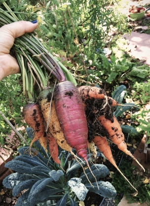 heirloom carrots in my hands