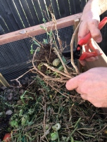 cutting the dead plants for the compost bin