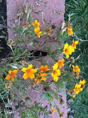 marigolds along the garden border