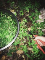 harvesting mint at night