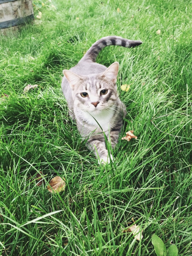 tabby cat ash