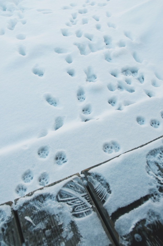 cat pawprints in the snow