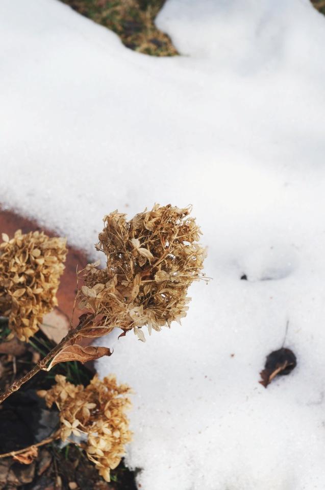 hydrangea | holly & flora