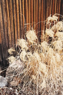 feather grass | holly & flora