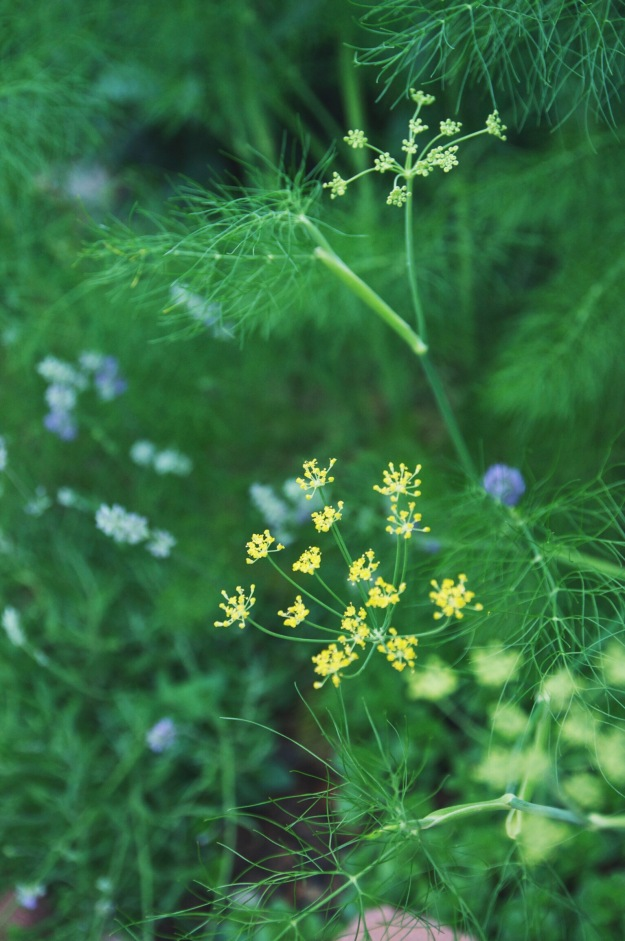 fennel blooms | holly & flora