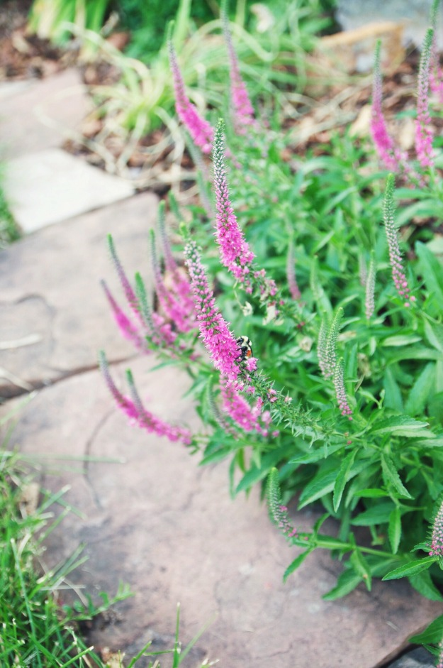 pink salvia | holly & flora