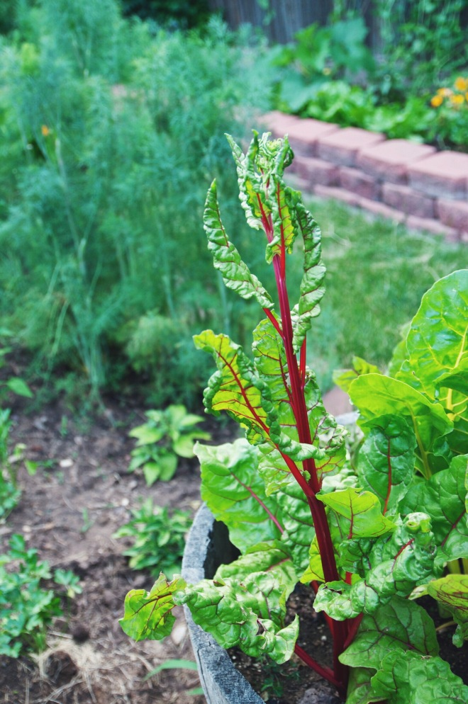 bolting chard | holly & flora