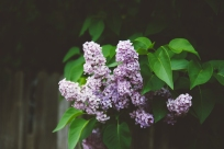 Late spring lilacs, blooming in the backyard.