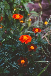 Marigolds from last year's seeds.