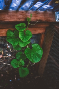 A volunteer squash popped up in the compost bin, so we've been watering it and watching it grow!